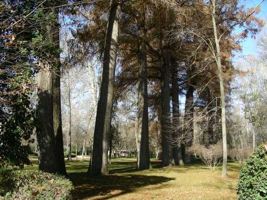Bosque de ahuehuetes gigantes llegados de lejos en el Jardín del Príncipe.