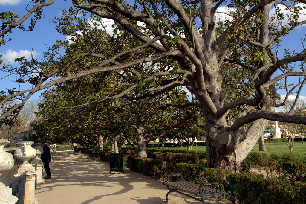 Hilera de elegantes magnolios