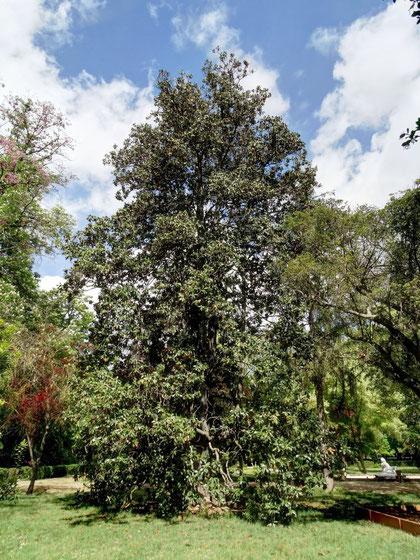 Uno de los elegantes magnolios singulares.